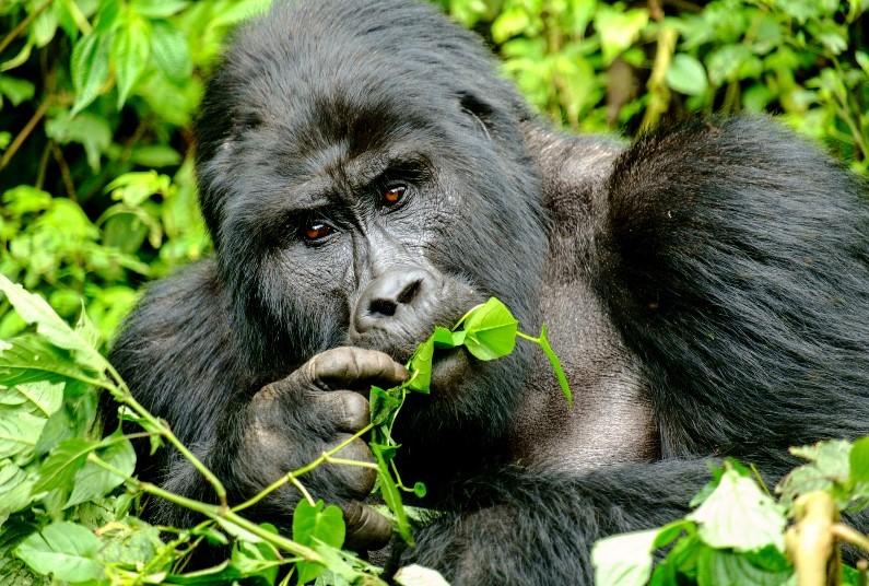 In Search of the Mountain Gorillas & Chimpanzee